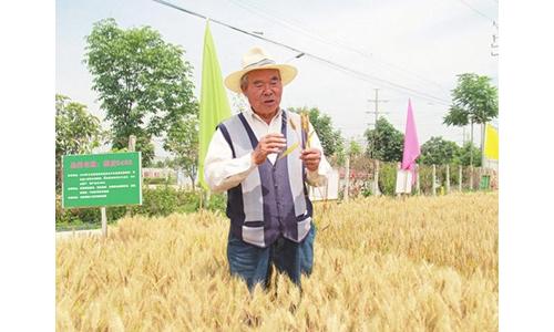 """杨凌农科专家育出小麦新品种""""憨丰3468"""""""