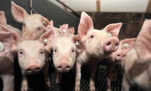 2019年农村养猪政策怎么样?这些补贴你申请了吗?