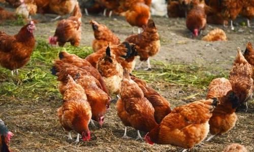 2019农村养鸡都有哪些补贴?农村养鸡补贴政策快来了解一下