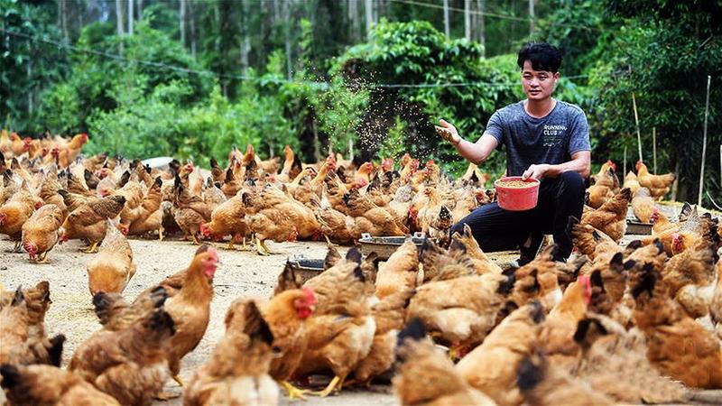 林下养鸡助脱贫