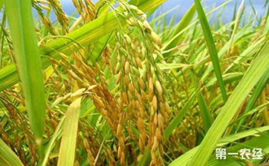 我国水稻小穗发育新基因成功克隆