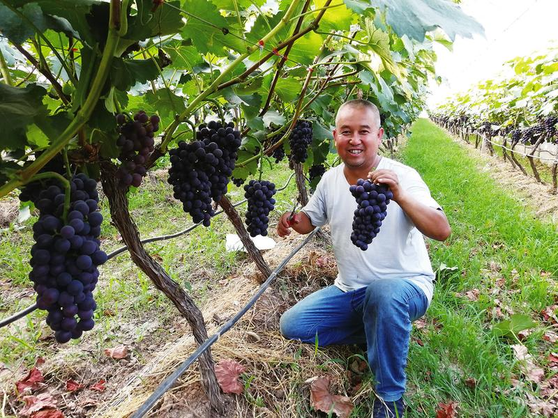 陕西杨凌揉谷镇陵湾村锦田果蔬专业合作社100多亩葡萄上市了