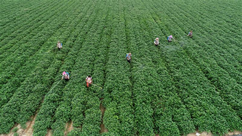 河南光山:红薯田间管理忙_中国农科新闻网