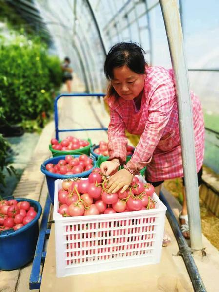 新技术种出高品质番茄_中国农科新闻网