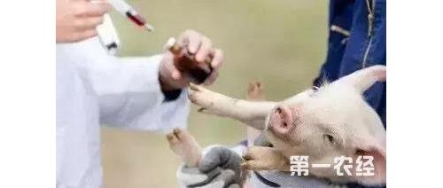 猪瘟疫苗在非洲上市