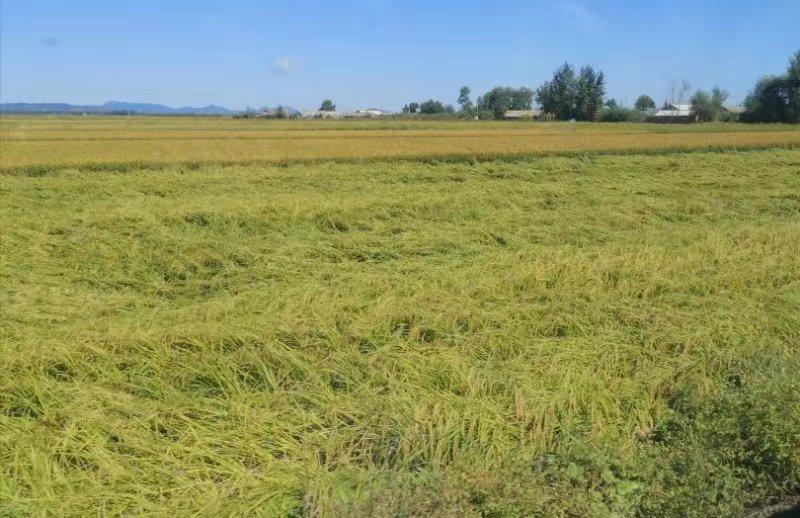 """灾害损失减少30%、整精米率提高8%——水稻新品种""""中科发5号""""选育成功"""
