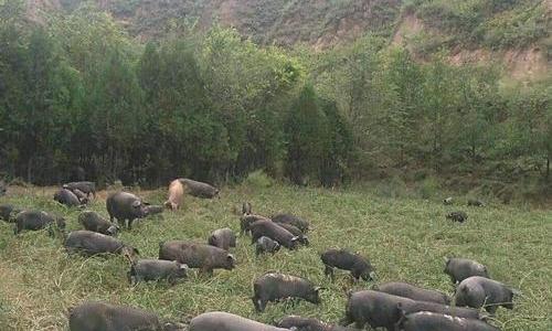 散养黑毛猪走向大市场