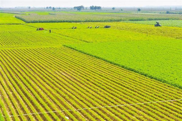 陕西大荔红萝卜种植面积达十五万亩