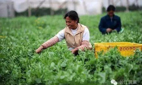 秋去冬来,十一月蔬菜种植指南在这里……