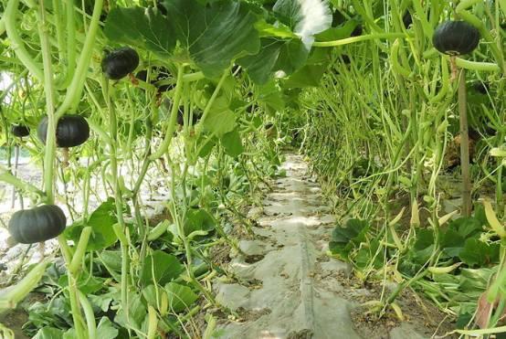 警惕!大棚蔬菜种植6个误区和4大病害,近期正在集体爆发中……