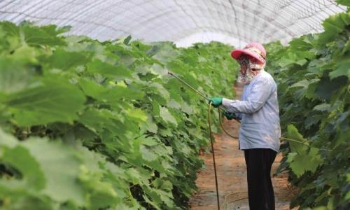 蔬菜生病农药使用频繁既浪费又没效果