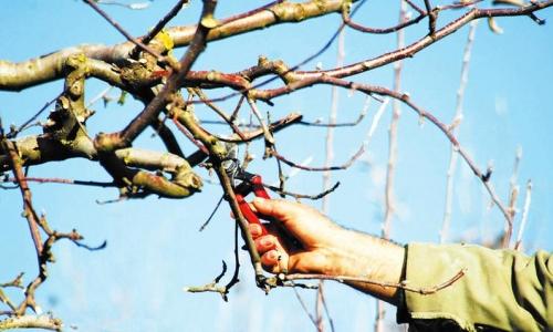 苹果树修剪时特殊情况特殊对待