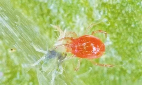 温室草莓红蜘蛛如何防治?