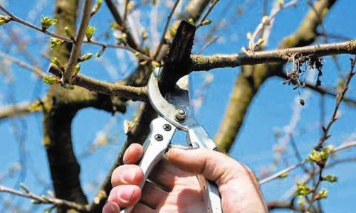 大棚甜樱桃树冬剪技术