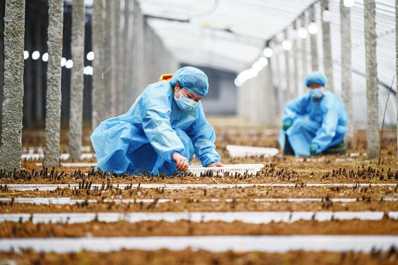 黑皮鸡枞菌助农脱贫