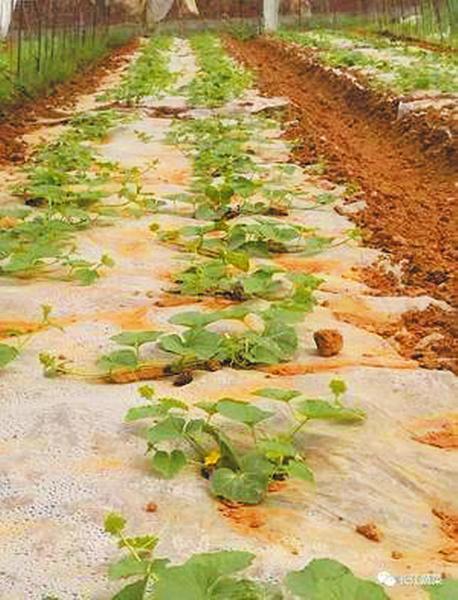 冬季大棚甜瓜如何育苗?